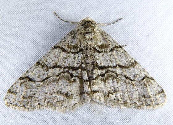 Phigalia titea 4-26-13 1