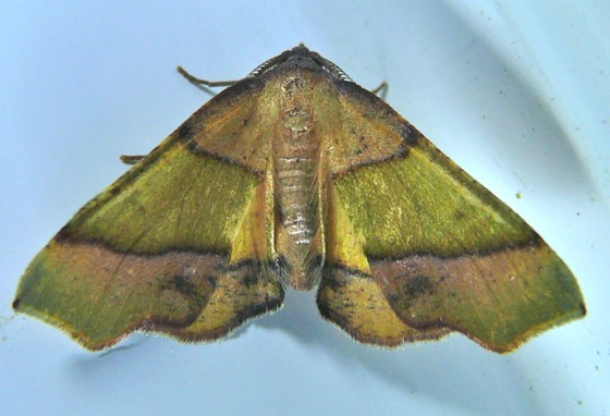 Plagodis phlogosaria 7-7-11 2