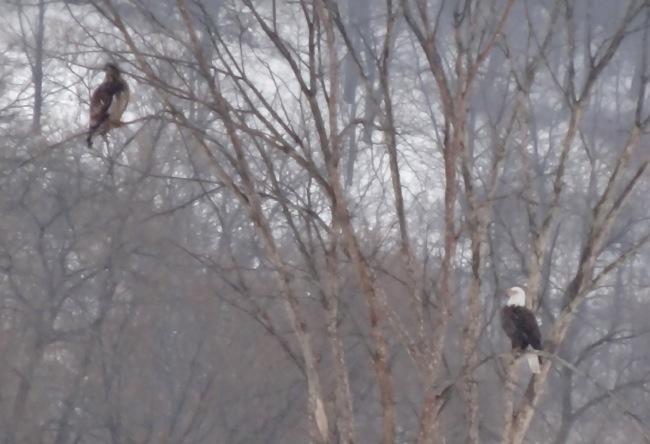 eagles - mikes photo