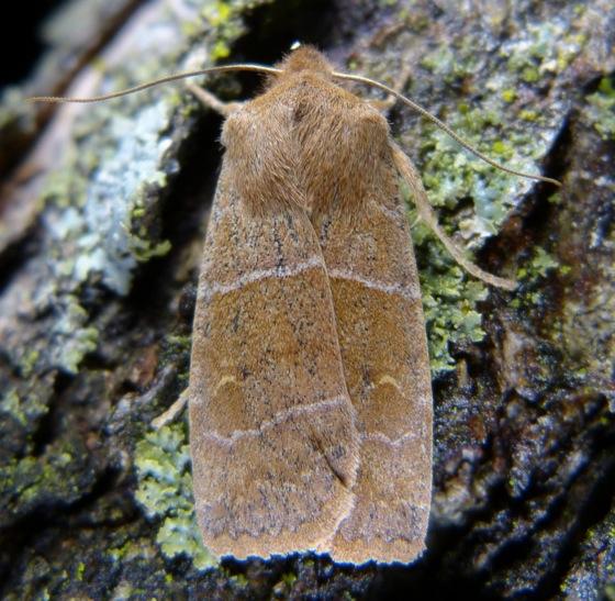 Eupsilia morrisoni 4-8-13 2