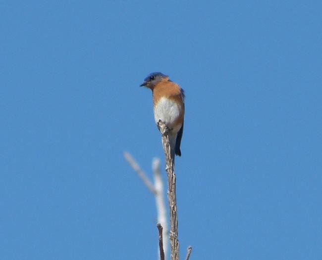 first bluebird 3-28-13