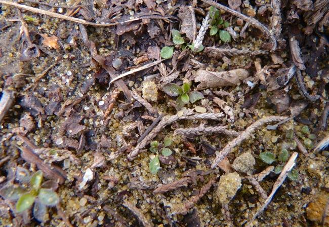small plants on sumac prairie 4-16-13