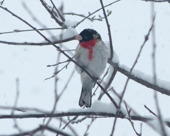 Grosbeak in snow