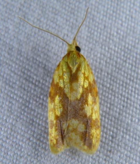 Sparganothis sulfureana Sparganothis Fruitworm 9-19-13 1