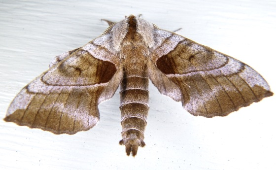 Amorpha juglandis 6-12-13 1