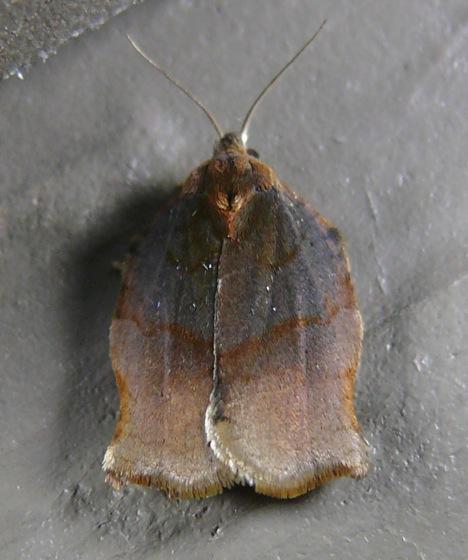 Archips purpurana 7-8-11 2