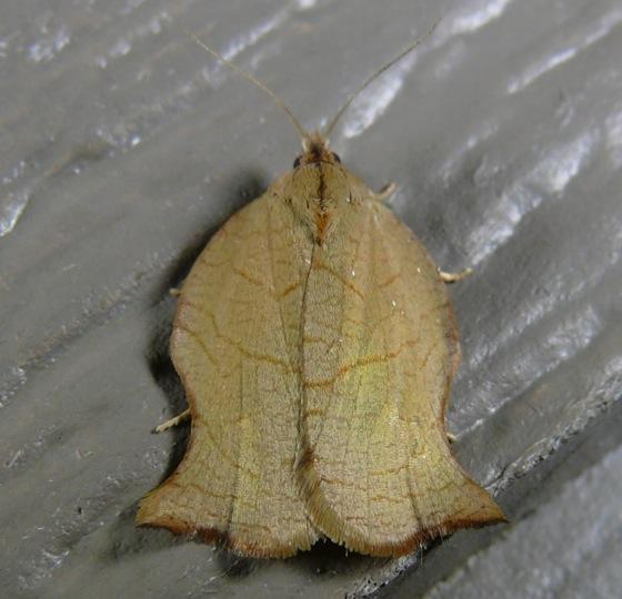 Archips purpurana 7-8-11 3