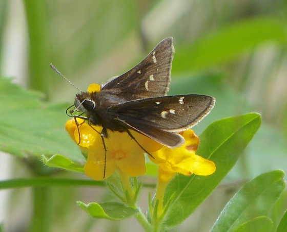 Atrytonopsis hianna 6-10-13 1