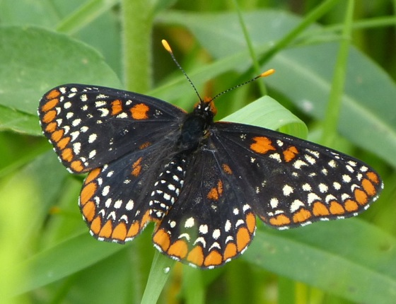 Baltimore Checkerspot 6-29-13 1