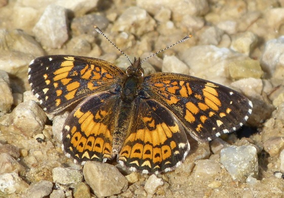 Gorgone Checkerspot