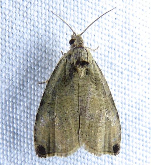 Olethreutes exoletum 6-23-13 1