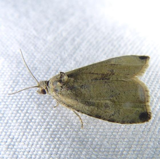 Olethreutes exoletum 6-23-13 2