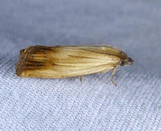 Phaneta formosana sp. group 5-28-13 1