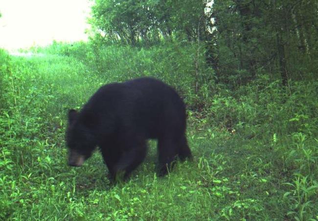 bear 6-7-13 1