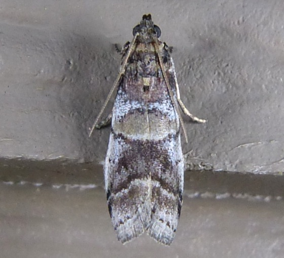 Acrobasis indigenella 7-15-13 1