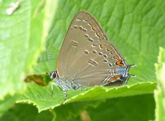 Edwards Hairstreak 7-3-13