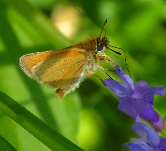 European Skipper 7-4-13