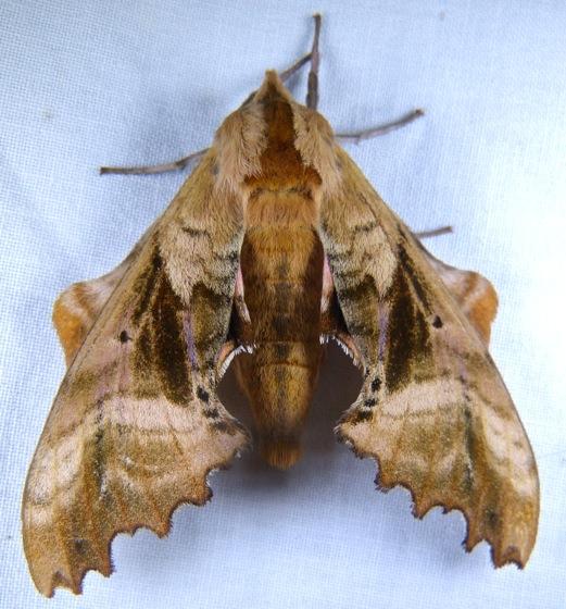 Paonias excaecatus 7-4-12 8