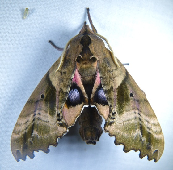 Paonias excaecatus 7-5-12 1