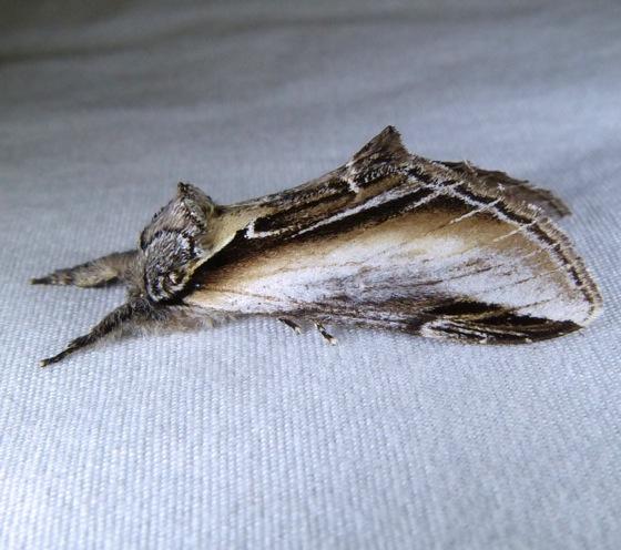 Pheosia rimosa 7-10-13 1