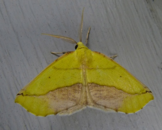 Sicya macularia 6-27-13 1