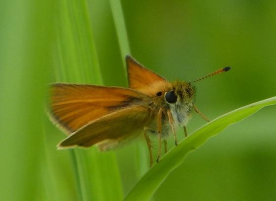 Thymelicus lineola European Skipper 6-29-13