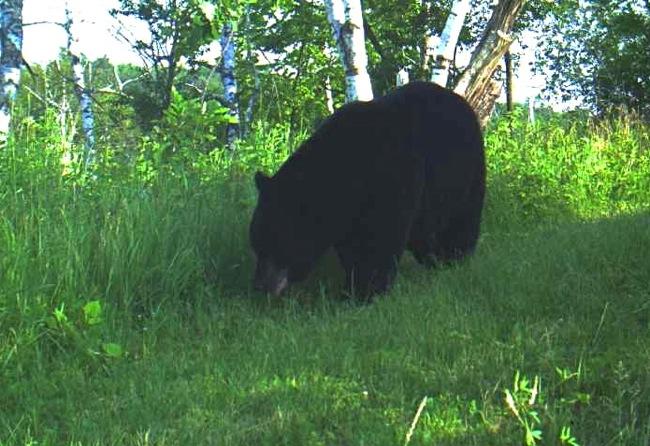 bear 7-6-13 1
