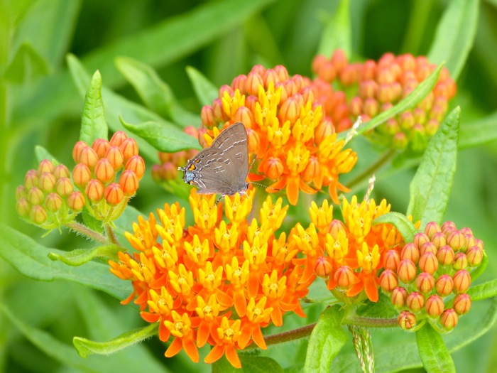 butterfly weed with banded hairstreak 7-7-13
