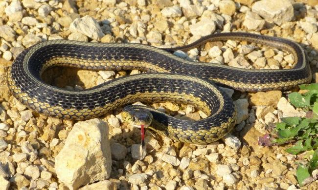 garter snake 6-26-13 2