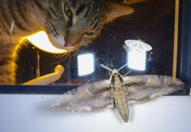Tiger with moth