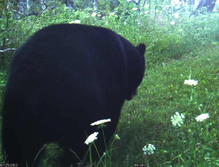 bear 7-25-13 1