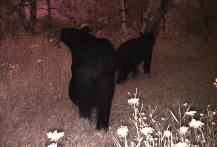 bears 7-25-13 1