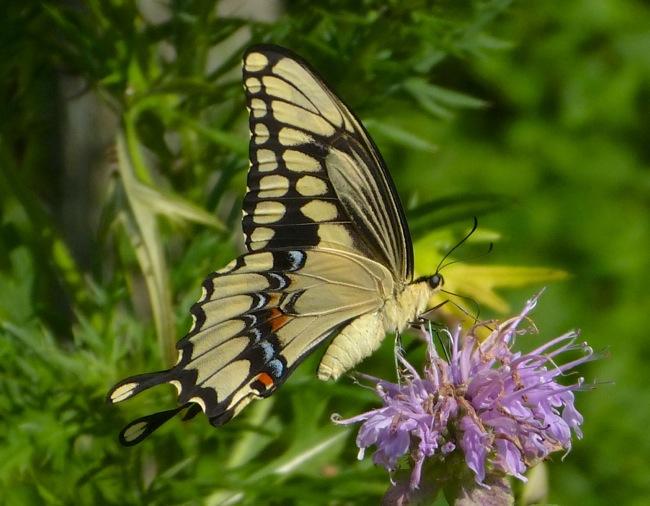 giant swallowtail 8-11-13