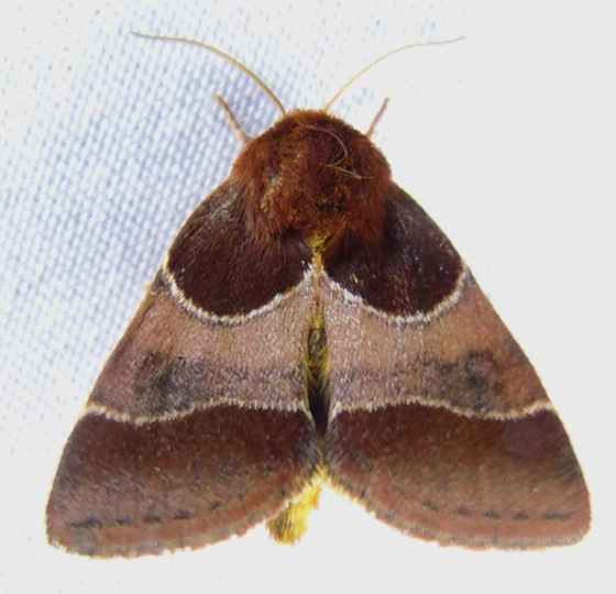 Schinia arcigera 8-10-13-1