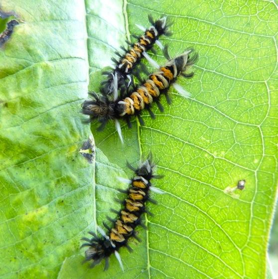 milkweed tussock caterpillars