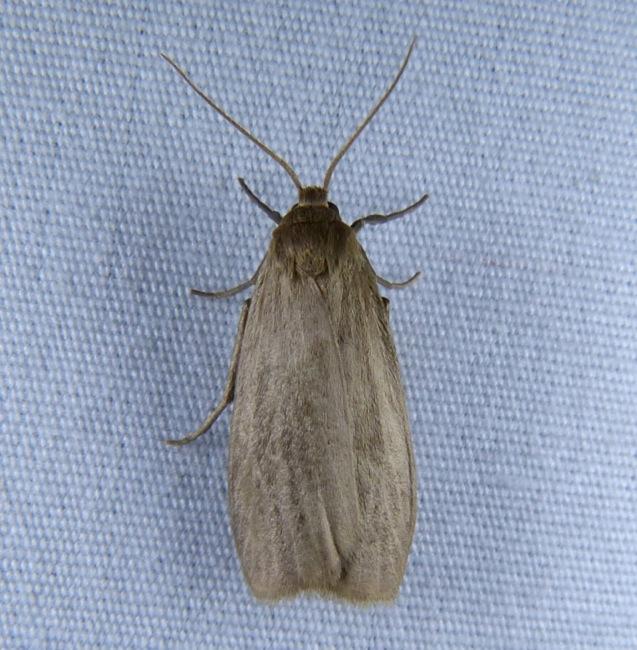 Crambidia pallida Pale Lichen Moth 7-27-13