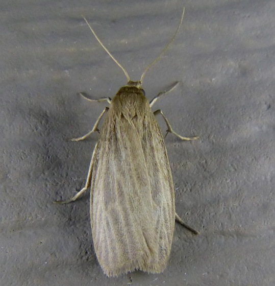 Crambidia pallida Pale Lichen Moth 8-4-13