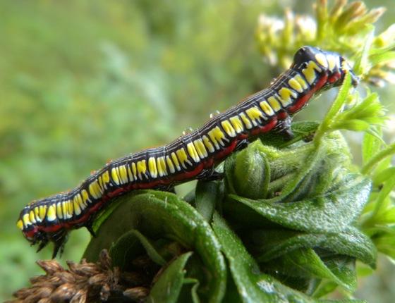 Cucullia convexipennis larva 9-19-13 1