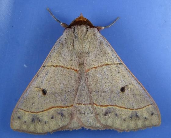 Panopoda rufimargo 8-5-13 1