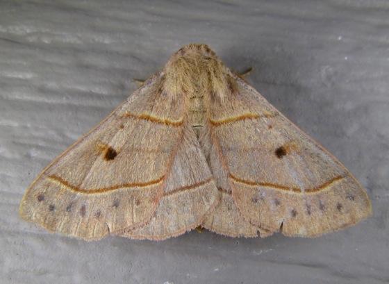 Panopoda rufimargo 8-5-13 2