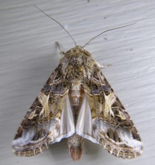 Spodoptera ornithogalli 10-5-13 1