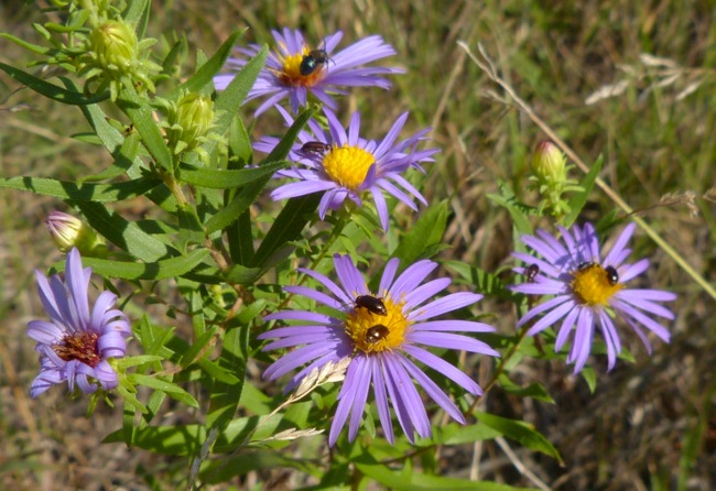 aromatic aster with bugs