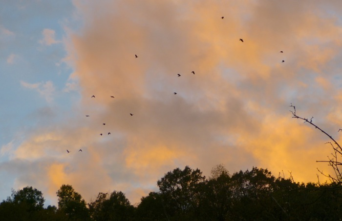 crows at sunset