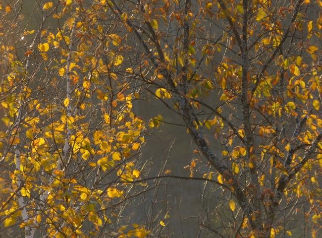 sunset light in birch leaves