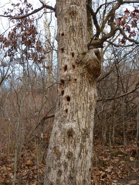 11-17-12 2 burr oak