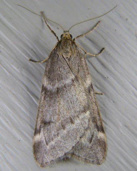 Alsophila pometaria 9-29-13 1