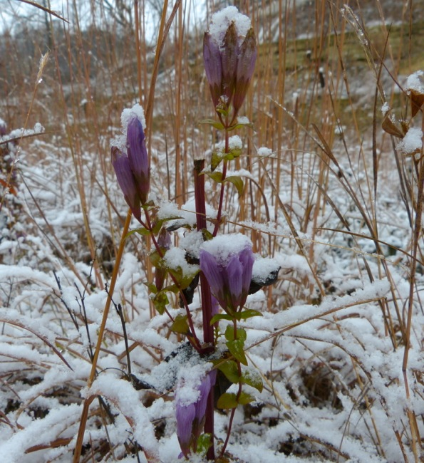 stiff gentian in snow
