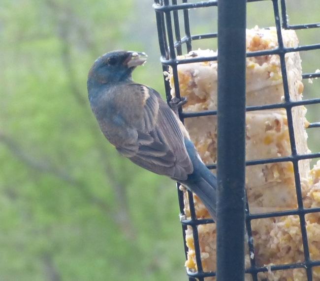 unknown bird 5-19-13 2
