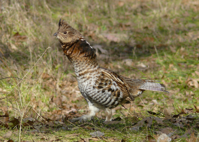 Ruffed Grouse 11-7-09