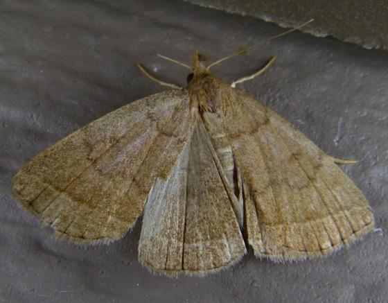 Zanclognatha marcidilinea 8-4-13 1